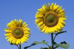 Zonnebloemen en blauwe hemel Royalty-vrije Stock Foto's