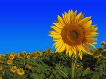 Zonnebloemen en blauwe hemel Royalty-vrije Stock Fotografie