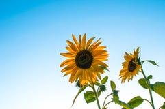 Zonnebloemen en een open hemel royalty-vrije stock fotografie