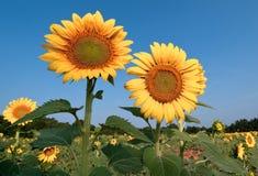 Zonnebloemen en gebied Stock Foto