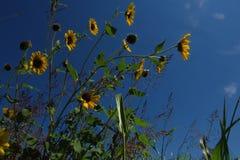 Zonnebloemen en hemel royalty-vrije stock foto