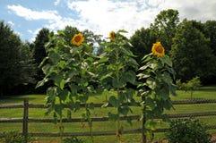 Zonnebloemen en rustieke omheining Royalty-vrije Stock Afbeelding