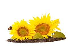 Zonnebloemen en zaden Royalty-vrije Stock Afbeelding