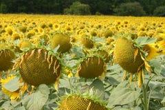 Zonnebloemen in Frankrijk Stock Afbeeldingen