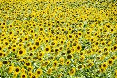 Zonnebloemen in Frankrijk Bloeiende zonnebloemen op het gebied Royalty-vrije Stock Afbeeldingen