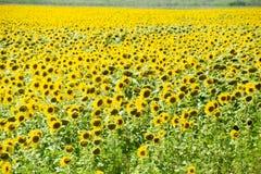 Zonnebloemen in Frankrijk Bloeiende zonnebloemen op het gebied Zonnebloemgebied op een zonnige dag Stock Fotografie