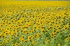 Zonnebloemen in Frankrijk Bloeiende zonnebloemen op het gebied Zonnebloemgebied op een zonnige dag Royalty-vrije Stock Afbeeldingen
