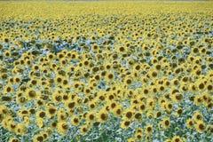 Zonnebloemen in Frankrijk Bloeiende zonnebloemen op het gebied Zonnebloemgebied op een zonnige dag Stock Afbeeldingen