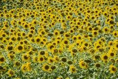 Zonnebloemen in Frankrijk Bloeiende zonnebloemen op het gebied Zonnebloemgebied op een zonnige dag Stock Foto