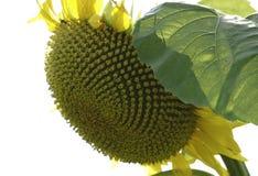 Zonnebloemen Gebied van bloeiende zonnebloemen op een blauwe hemel als achtergrond Royalty-vrije Stock Foto
