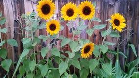 Zonnebloemen in grandma& x27; s tuin stock afbeeldingen