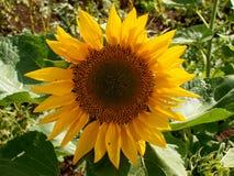 Zonnebloemen het bloeien Stock Afbeeldingen