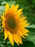 Zonnebloemen het bloeien Stock Afbeelding