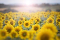 Zonnebloemen in het ochtendlicht royalty-vrije stock afbeeldingen