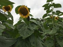 Zonnebloemen in het park in zomer royalty-vrije stock afbeeldingen
