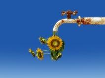 zonnebloemen het weggaan Stock Foto