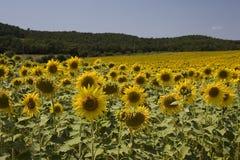 Zonnebloemen in Italië Royalty-vrije Stock Afbeelding