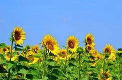 Zonnebloemen in Italië Stock Afbeelding