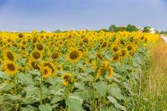 zonnebloemen langs een landweg van het land Stock Afbeeldingen