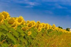 zonnebloemen langs een landweg van het land Royalty-vrije Stock Afbeeldingen