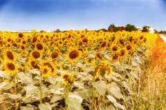 zonnebloemen langs een landweg van het land Royalty-vrije Stock Foto