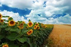 Zonnebloemen met bewolkte hemel Stock Foto