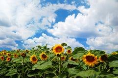 Zonnebloemen met bewolkte hemel Stock Fotografie