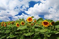 Zonnebloemen met bewolkte hemel Royalty-vrije Stock Fotografie
