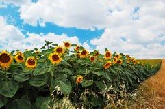 Zonnebloemen met bewolkte hemel Royalty-vrije Stock Afbeeldingen