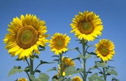 Zonnebloemen met blauwe hemel royalty-vrije stock fotografie