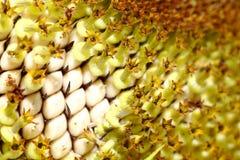 Zonnebloemen met de macro Royalty-vrije Stock Afbeelding