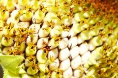 Zonnebloemen met de macro Royalty-vrije Stock Afbeeldingen