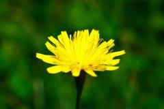 Zonnebloemen met de macro Royalty-vrije Stock Foto