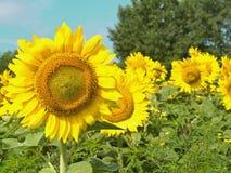 Zonnebloemen met nadruk op linkerkant Stock Fotografie