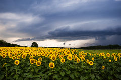 Zonnebloemen met onweersbui royalty-vrije stock afbeelding