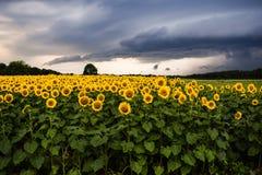 Zonnebloemen met onweersbui royalty-vrije stock afbeeldingen