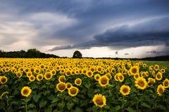 Zonnebloemen met onweersbui Stock Fotografie