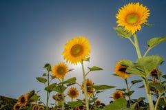 Zonnebloemen met zon Stock Afbeeldingen