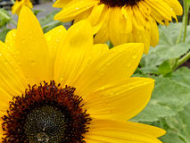 Zonnebloemen na regen Stock Afbeeldingen
