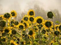 Zonnebloemen naar de zon stock afbeelding