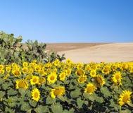 Zonnebloemen naast een cactus Stock Foto