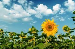 Zonnebloemen onder bewolkte hemel Stock Fotografie
