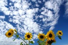 Zonnebloemen onder blauwe hemel stock foto's