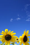 Zonnebloemen onder blauwe hemel royalty-vrije stock afbeelding