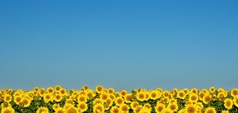 Zonnebloemen onder de blauwe hemel. Stock Afbeelding