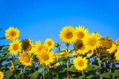Zonnebloemen onder een blauwe hemel stock fotografie