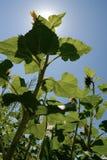 Zonnebloemen onder zonneschijn Royalty-vrije Stock Foto's