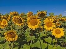 Zonnebloemen op blauwe hemelachtergrond Royalty-vrije Stock Afbeeldingen