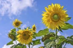 Zonnebloemen op de blauwe hemel Stock Afbeelding