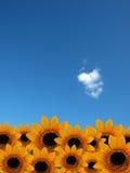 zonnebloemen op de duidelijke hemelachtergrond Stock Afbeeldingen